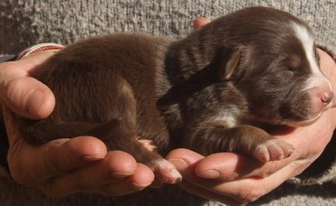 Chiot berger australien femelle rouge tri