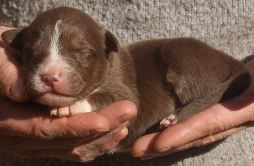 Chiot berger australien mâle rouge tri