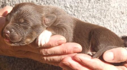 chiot berger australien rouge
